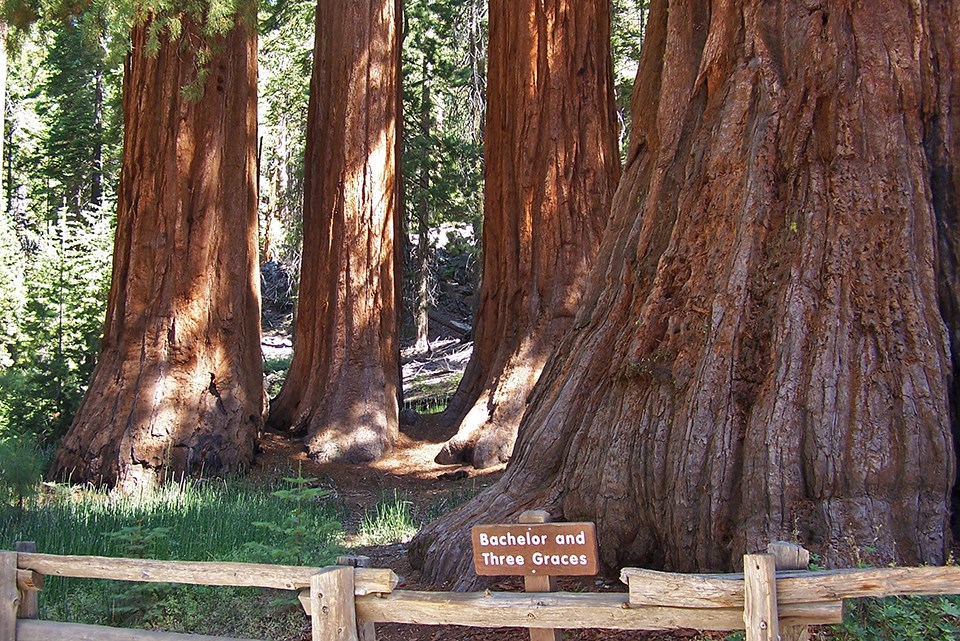Redwoods in Mariposa Grove